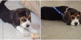 cachorro-beagle-Rocco-Venezuela