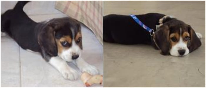 Rocco cachorro beagle de Venezuela