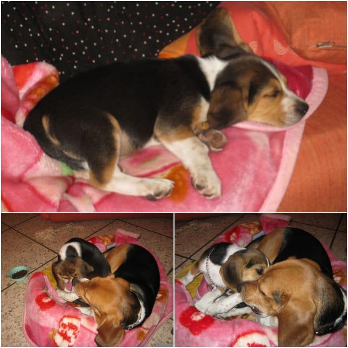 cachorro-beagle-san-salvador