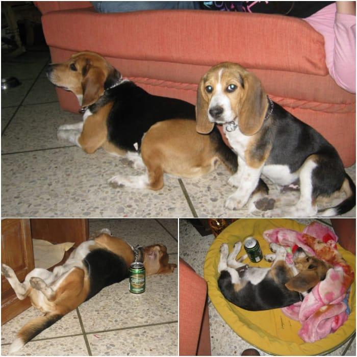 perros-beagles-milo-matias-el-salvador