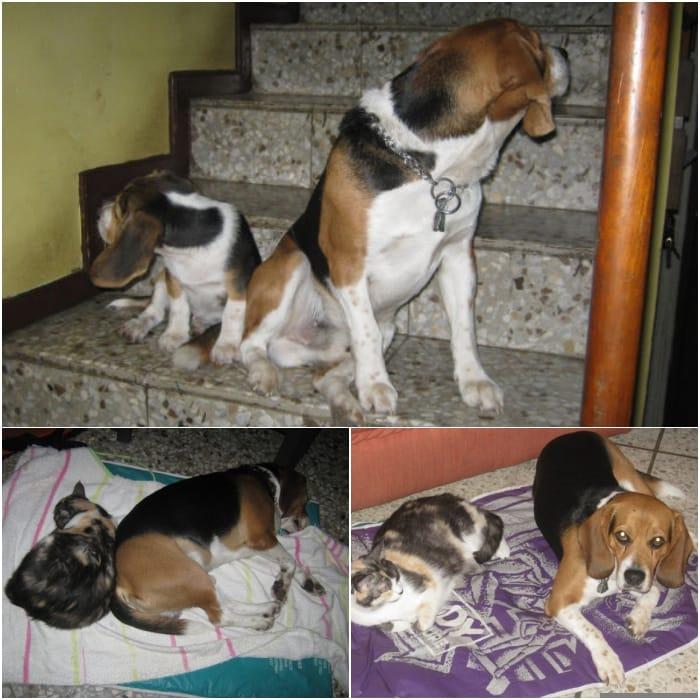 perros-beagles-y-gata-el-salvador