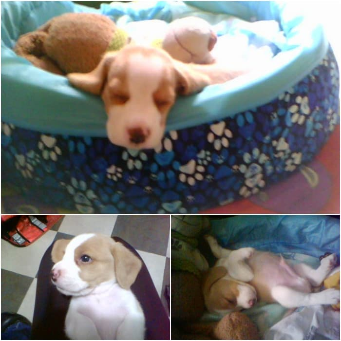 matias-cachorro-beagle-bicolor-colombia