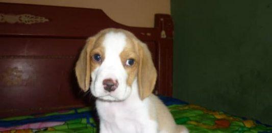 Matías cachorro beagle limón