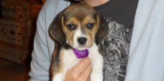 cuanto-duermen-un-perro-beagle-leah