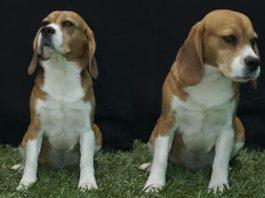 beagle tricolor Bart