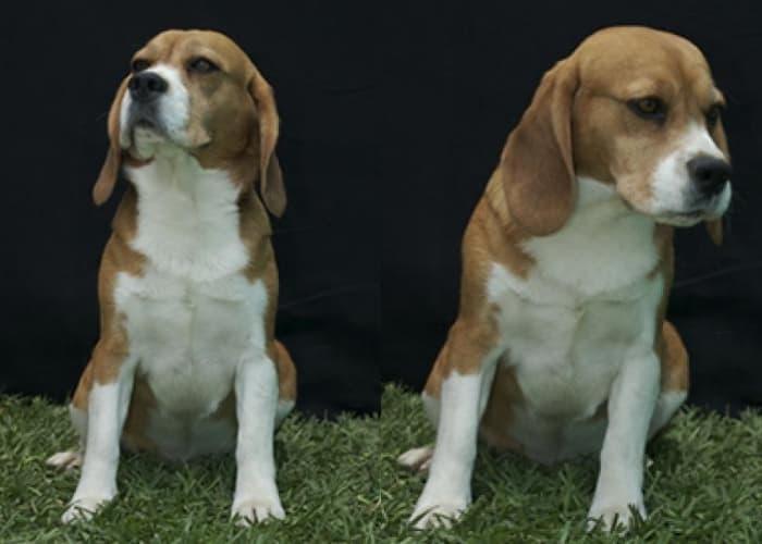 Bart beagle tricolor de Ciudad de México