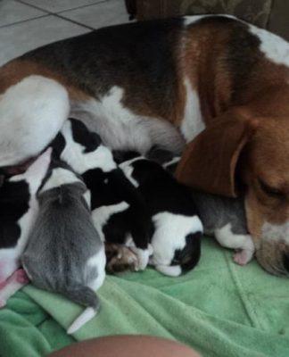 beagle Plata camada cachorros
