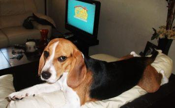 Luna beagle tricolor de Mexico