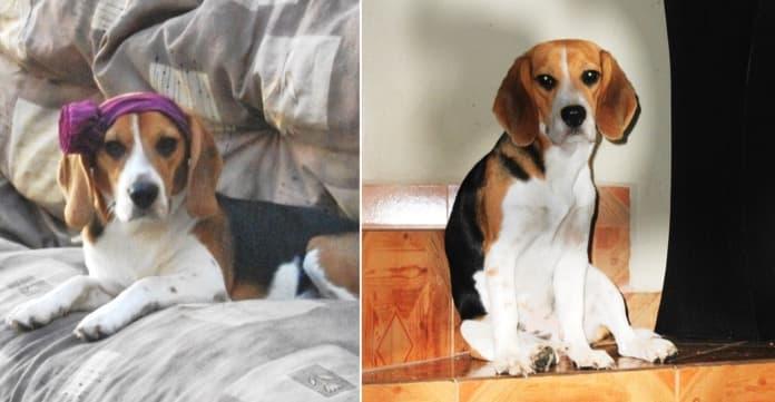 perrita beagle Luna