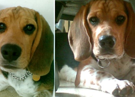 tener un beagle en el patio