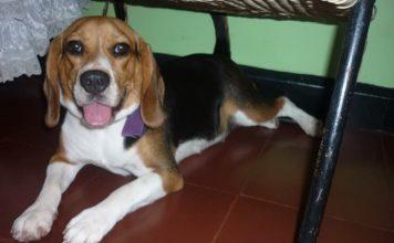 perrita beagle Violeta