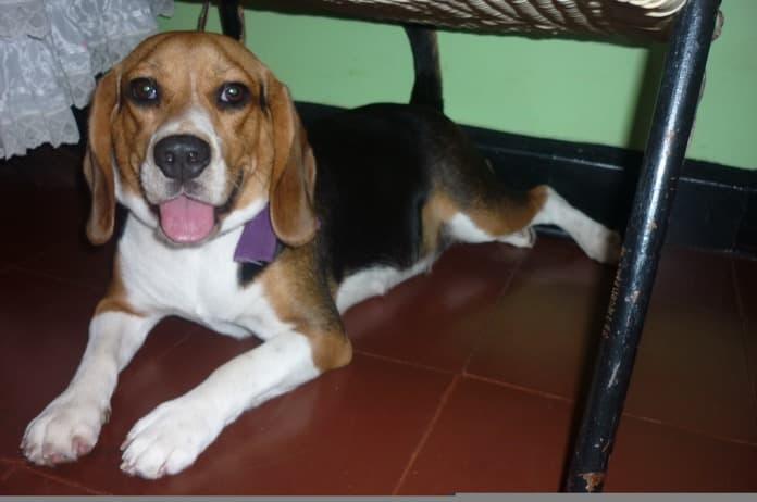 cómo corregir la agresividad de un beagle - Violeta