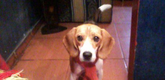 Tania beagle con alergia