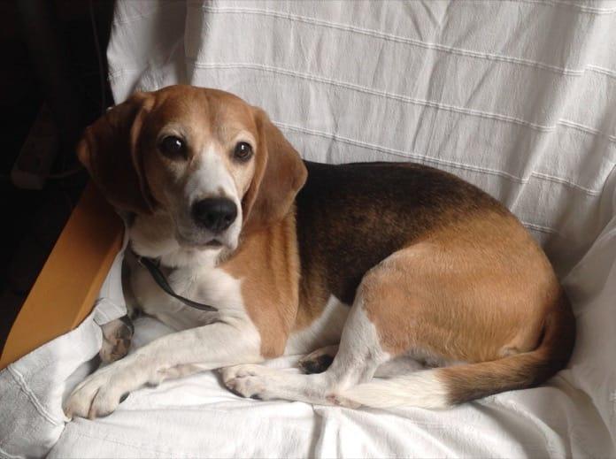 Garret con 11 años beagle de Adfer Dazne