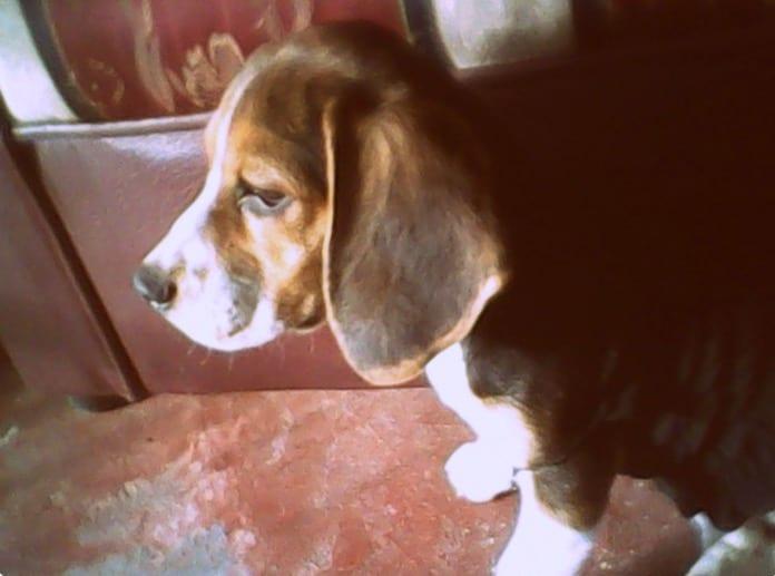 beagle Tyna de Colombia