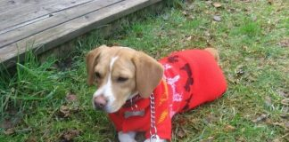 la beagle Ramona en la hierba