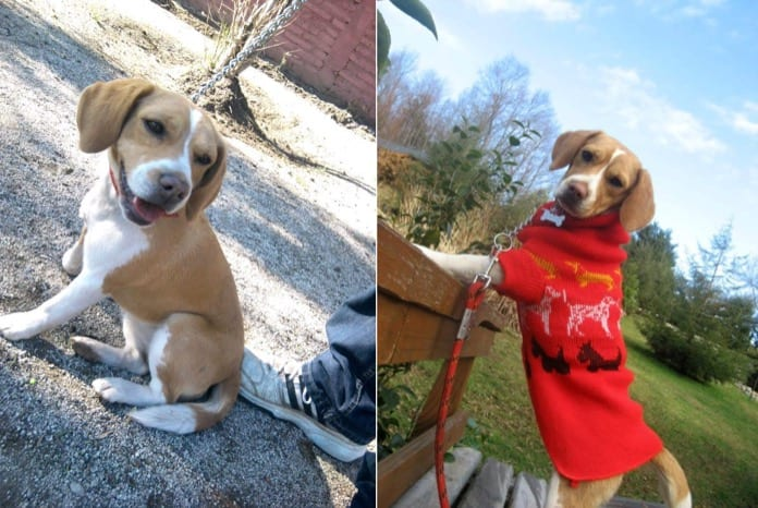 perrita beagle Ramona, De Santiago de Chile