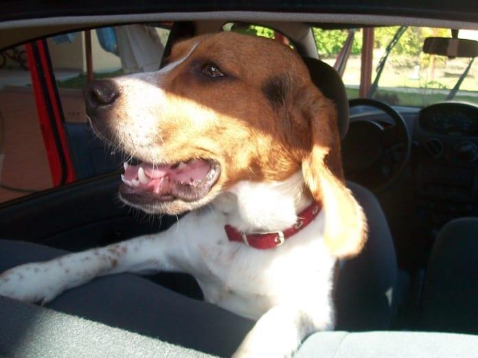Lukas es el perro beagle de José Vicente