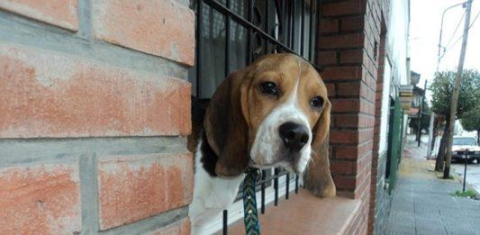 beagle Agustín de Buenos Aires