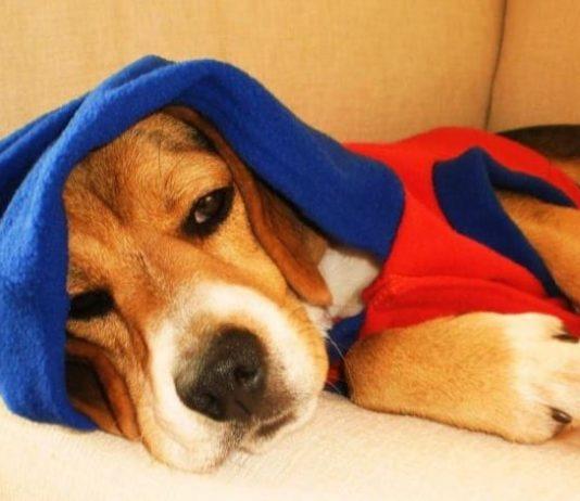 perro beagle Toby De Santiago de Chile