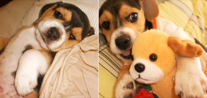 el beagle Toby cuando era un cachorro