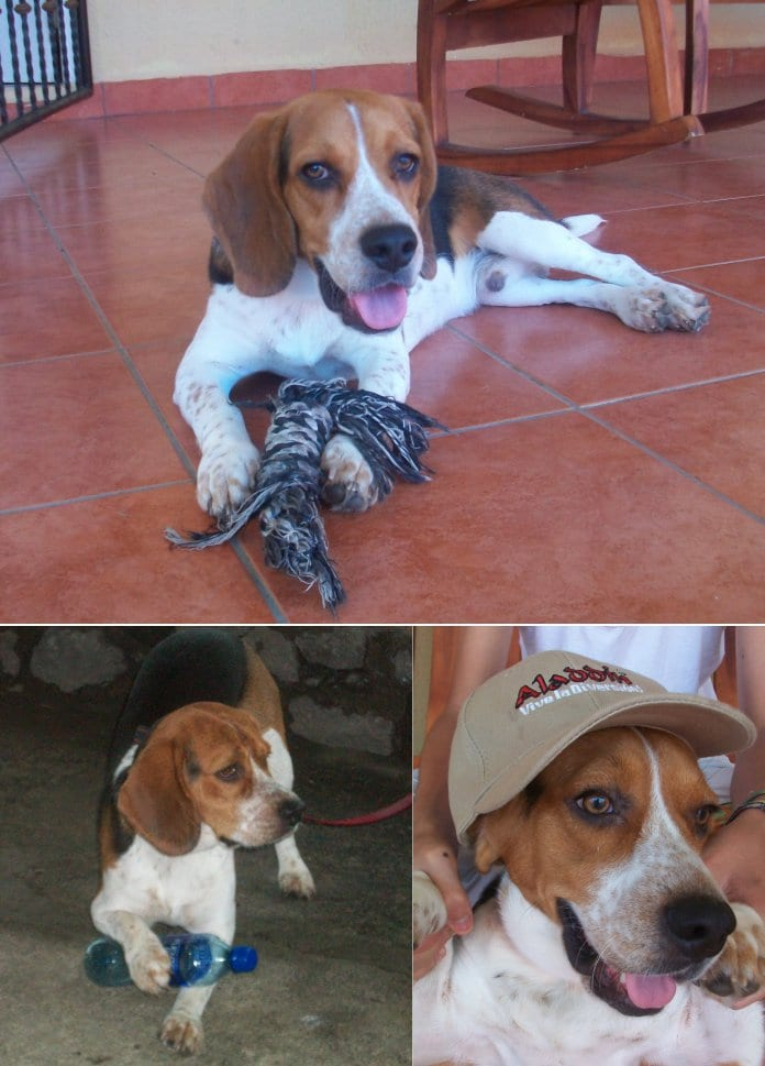 diversas escenas con el beagle Lukas