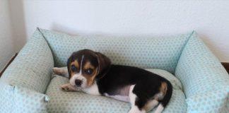 cachorra de beagle en su canasto