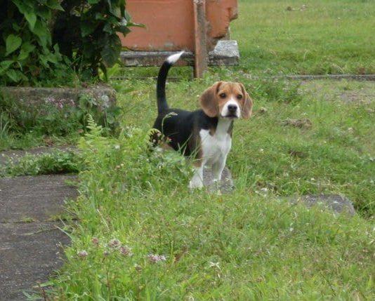 Tobby, un perro beagle de Colombia