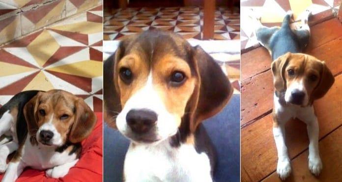 fotos del beagle Tobby